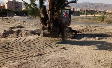 Limpieza de palmeras y trasplantes