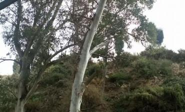 Seguimos con la limpieza y apeo de árboles enfermos