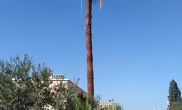 Volvemos a realizar trabajos en altura, afeitado y limpieza de palmeras de más de 10 metros de altura